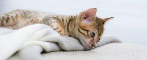 La sous-consommation d'eau chez les chats - un chat très malade