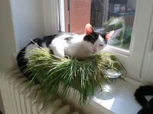 herbe à chat pour un chat d'appartement - il y a tout de même des désavantages
