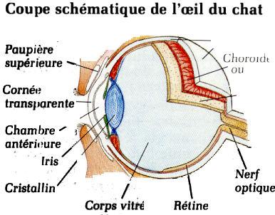 Pourquoi mon chat a un oeil rouge miaustore france - Couche du globe oculaire ...