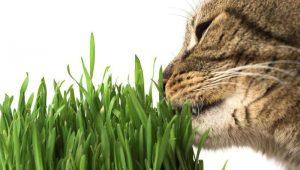 herbe à chat pour un chat d'appartement - miam!