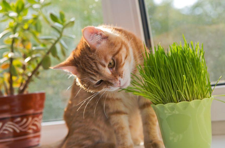 Herbe à chat dans un vase