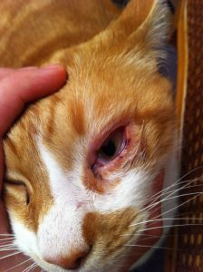 Chat oeil rouge