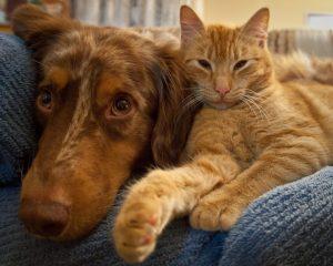 Chat caline un chien