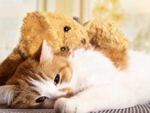 un chat avec un ventre dur n'est pas content