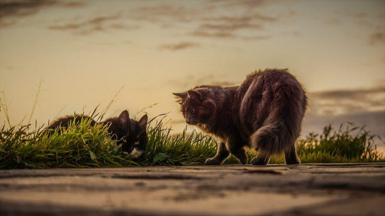 Le langage des chats pour se communiquer entre eux
