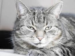 Een kat kwijlt omdat het geniet van de aandacht