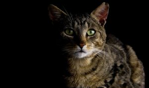 Een kat kan dementie ontwikkelen