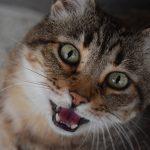 Mijn kat miauwt veel