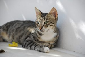 Pregnant cat