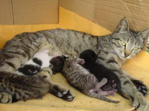 Kittens nursing from mum