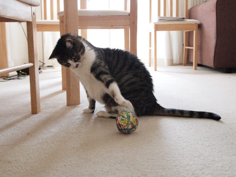Cat playing with rubber ball