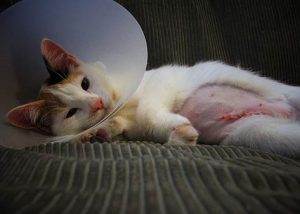 Can Cat Eat After Anesthesia