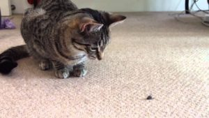 My Cat Keeps Eating Flies