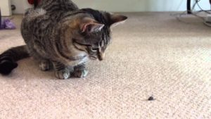 Cat looking at a fly