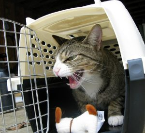 Cat angry about going in a cat carrier