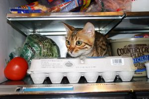 Cute cat in fridge