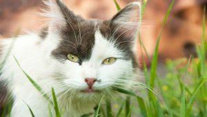 cat-eating-grass-jpg-653x0_q80_crop-smart