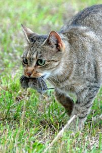 Low water intake in cats aided by wild hunting
