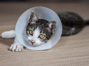 cat spayed