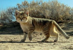 wild cat in desert
