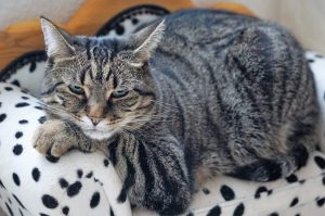 cats can be bipolar when their behaviour fluctuates