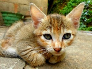 ears suggest Down syndrome in cats