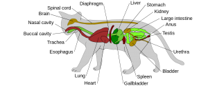 diagram of feline