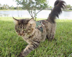 cat outdoor choosing territory
