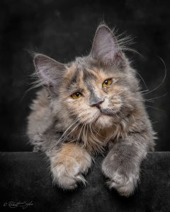 Fotograf fängt die mystische Schöhnheit von Maine-Coon-Katzen ein 1