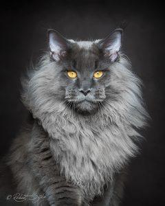 Fotograf fängt die mystische Schöhnheit von Maine-Coon-Katzen ein 3
