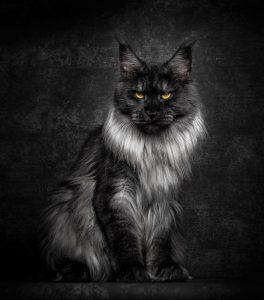 Fotograf fängt die mystische Schöhnheit von Maine-Coon-Katzen ein 2