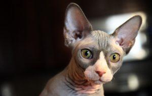 Sphinx Katzen Haaren nicht
