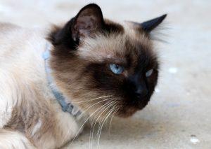 Die Burmakatze zählt zu Katzen die nicht haaren