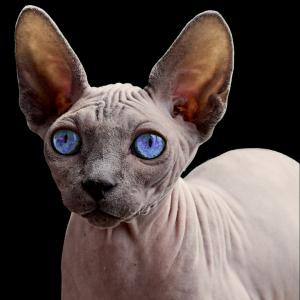 Sphynx Katzen haaren weniger
