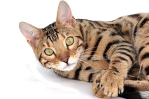 Bengal cats, the cats that do not hair