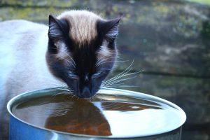 Katze trinkt aus dem Klo